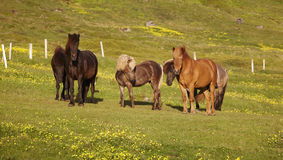 Iceland. Icelandic horses grazing on the grass. Stock Photos