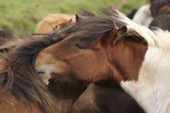 Iceland. Icelandic horses with green background. Icelandic free horses with green background closeup royalty free stock image