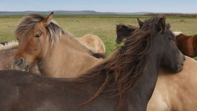 Iceland. Icelandic horses with green background and sky. Royalty Free Stock Photo