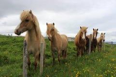 Iceland konie Zdjęcie Stock