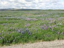 Iceland kwiat Obrazy Stock