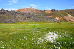 Iceland - Landmannalaugar. Iceland. Beautiful mountains and white cottongrass. Famous volcanic area with rhyolite rocks - Landmannalaugar Royalty Free Stock Image