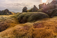 Iceland Landscape with Moss and Rock. Lava Rocks and Evening Blue Sky in Background. Stock Image