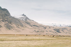 Iceland landscape photography. Wild horses with beautiful snowy mountains in the background Stock Photo