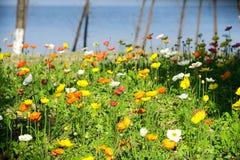 Iceland maczka kwiat Fotografia Stock
