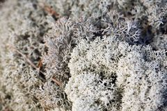 Iceland moss. Close up in a forest Royalty Free Stock Photos