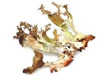 Iceland moss Royalty Free Stock Image