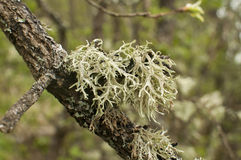 Iceland moss closeup Royalty Free Stock Photography
