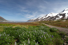 Iceland mountain panorama with flowers royalty free stock images
