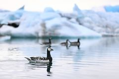 Iceland nature - birds at Jokulsarlon. Barnacle goose bird swimming near ice and icebergs in the glacial lake / glacier lagoon Jokulsarlon Stock Photography