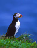 iceland norr puffin Arkivfoton