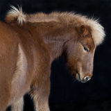 Iceland pony brown against black background Stock Photo