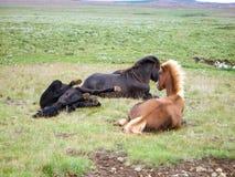 Iceland Pony. Pony in Iceland green Meadow Royalty Free Stock Photo