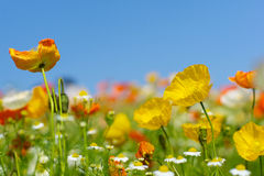 Iceland poppies. In the field with blue sky Stock Image