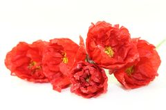 Iceland poppies Royalty Free Stock Photography