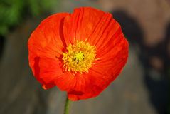 Iceland poppy Royalty Free Stock Photo