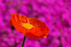 Iceland poppy Stock Image