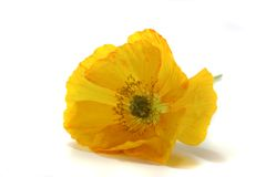 Iceland Poppy Royalty Free Stock Photography