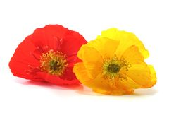Iceland Poppy Royalty Free Stock Images