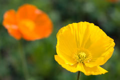 Iceland poppy Royalty Free Stock Photos