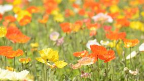 Iceland poppy flower field stock video