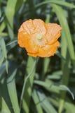 Iceland poppy flower Stock Images