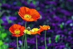 Iceland poppy flowers stock photo