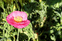 Iceland Poppy pink Royalty Free Stock Photo