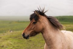 Iceland. Portrait of red horse Royalty Free Stock Image