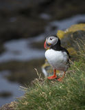Iceland_puffin. Atlantic puffin close by his nest in Iceland Stock Photo