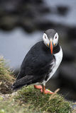 Iceland Puffin. Atlantic puffin close by his nest in Iceland watching you face on Stock Images