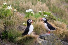 Iceland puffin bird Stock Photography