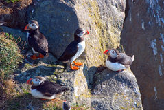 Iceland Puffins. Puffin in the colony in Vik Stock Photography