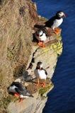 iceland puffins royaltyfri bild