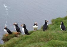 iceland puffins Royaltyfri Fotografi