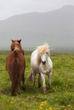 Iceland. Red and  white horses Stock Photos