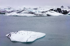 iceland seagulls Arkivbild