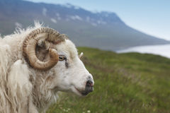 Iceland. Seydisfjordur. Icelandic lamb and fiord. Royalty Free Stock Image