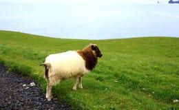 Iceland Sheep Stock Photo