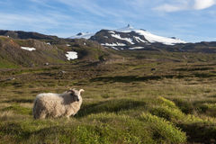 Iceland sheep grazing in the green summer meadow. Beautiful mountain landscape with white glacier cap of Snaefellsjokull volcano on horizon Royalty Free Stock Photo