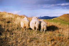 Iceland sheeps. Three Iceland sheeps in autumn field at sunset Stock Photos