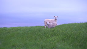 Iceland sheeps stock video footage