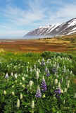 Iceland summer landscape. Fjord, house, mountains Royalty Free Stock Images