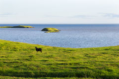 Iceland summer landscape. Goat on sea coast  in the meadows Royalty Free Stock Photo