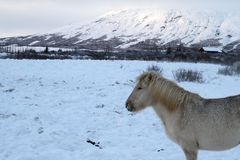 Iceland Travel. An icelandic horse is seen in Southwestern Iceland Stock Image