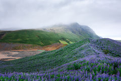 Iceland. Typical Iceland landscape with mountains and lupine flowers field. Summer time Stock Images