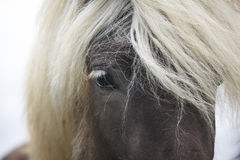 Iceland. Vatnsnes Peninsula. Icelandic horse close up. Stock Images