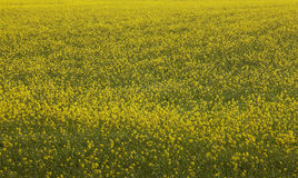 Iceland. Yellow flowers and green field. Stock Photography