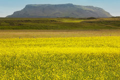 Iceland. Yellow flowers, green field and mountain Stock Photography
