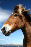 IcelandHorse_01. Closeup of an icelandic horse standing in the cold summer wind stock images